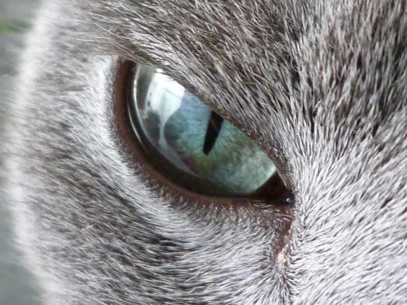 ロシアンブルーの青い目